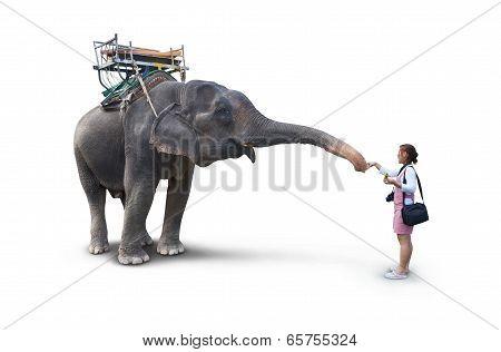Woman Feeding The Elephant Bananas On White Background