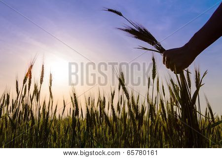 The Hands Hold The Ears Of Corn Field.