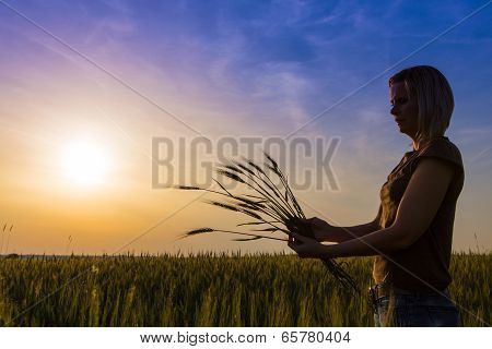 Female Hands Hold The Ears Of Corn In The Field.