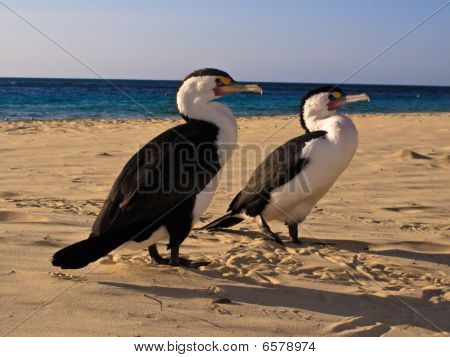 Cormorants Phalacrocorax carboon beach at Moreton Island Australia poster