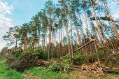 Windfall in forest. Storm damage. Fallen trees in coniferous forest after strong hurricane wind in Russia poster