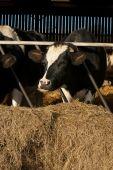 livestock cattle grazing in a farmyard barn poster