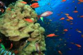 Lyretail Anthias shoal over a coral reef poster
