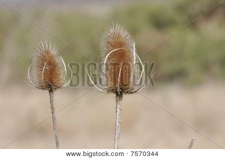 Thistle Head