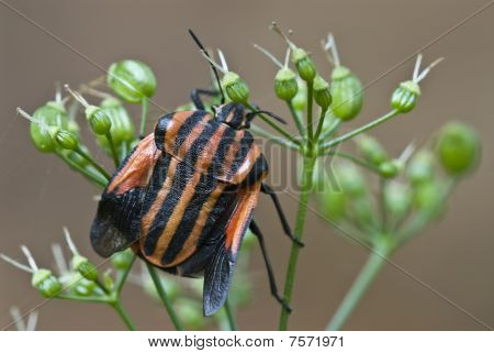 A black and red striped insect with wings open poster