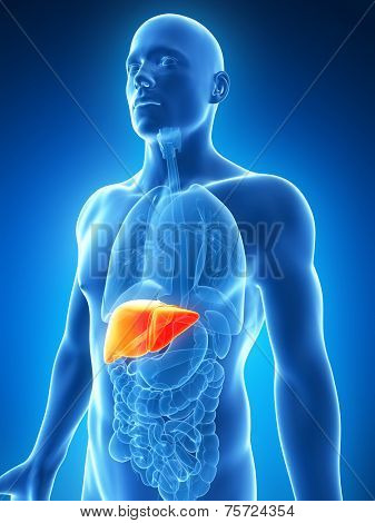 3d rendered illustration of the male liver