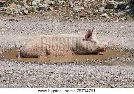 a sow in a puddle of Kelmend district, Albania poster