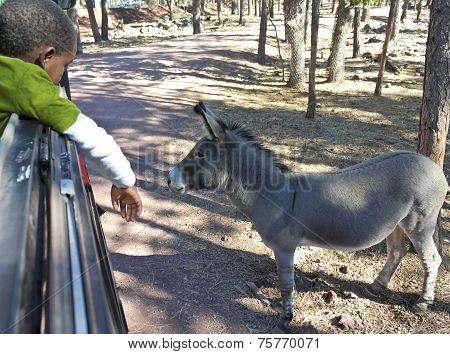 A Boy And Burro In A Safari Park