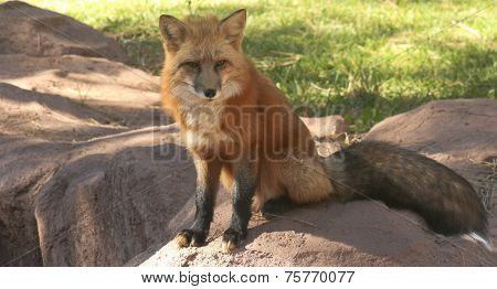 A Close Up Portrait Of A Red Fox