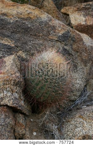Barrel Cactus Growing Out Of Boulders