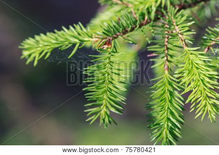 Close up of a spruce tree branch