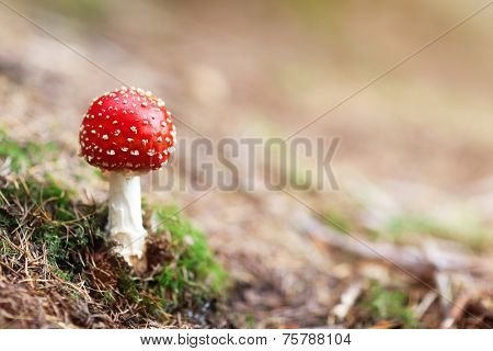 Amanita Muscaria mushroom in the forest with copy space