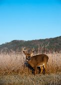 Whitetail buck standing in a meadow with fall colors and morning light on hillside. poster