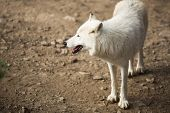 Arctic Wolf (Canis lupus arctos) aka Polar Wolf or White Wolf - Close-up portrait of this beautiful predator poster