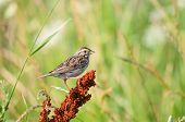 Savannah Sparrow perched among the wildflowers in a meadow. poster