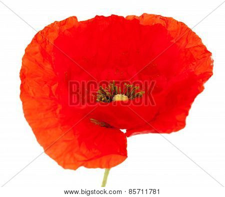 Bright Red Poppy Flower Isolated