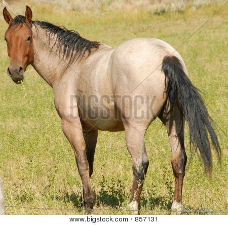 buckskin horse full view