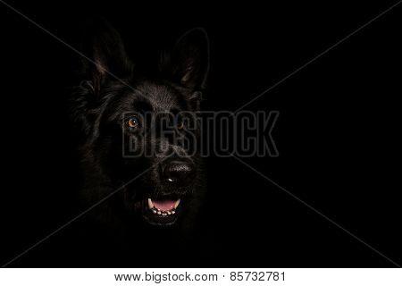 Black German Shepard