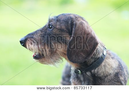 Wirehaired Dachshund Dog Closeup - Licked On Green Grass Background