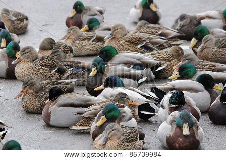Mallard Flock on Ice (Anas platyrhynchos)