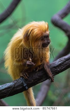 lion monkey