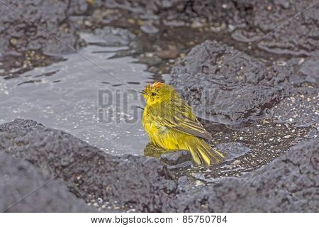 Yellow Warbler Taking A Bath In A The Ocean