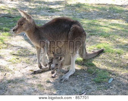 kangaroo & joey