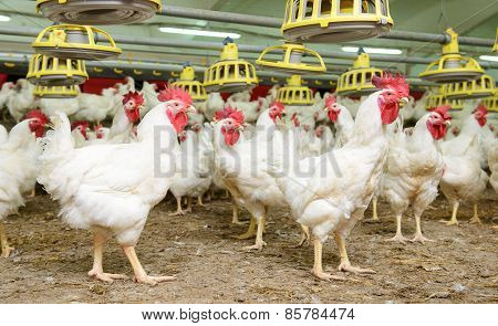 White chickens farm
