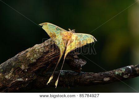 Beautiful Malaysian Moon Moth (actias Maenas)