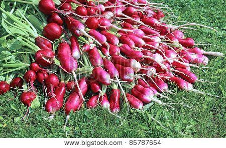 Many Fresh Radishes With Leaves