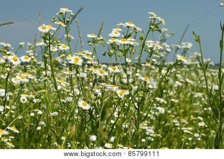 Flowering Fleabane Plants On Meadow