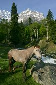 A wild horse near a forest and mountains in Kashmir, India. poster
