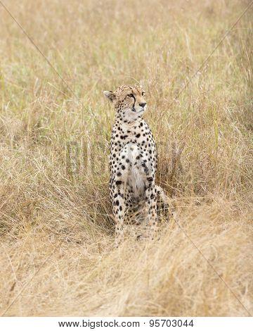 Cheetah Rest In Tall Grass