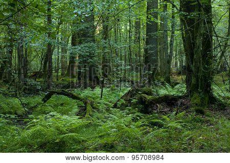 Broken Tree Stump Moss Covered And Ferns Layer Around