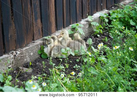 Cute Baby Geese in chamomile field.