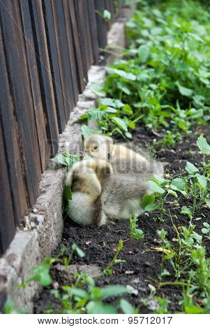 Cute Baby Geese in chamomile field