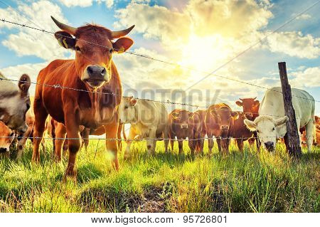 Herd Of Young Calves Looking At Camera