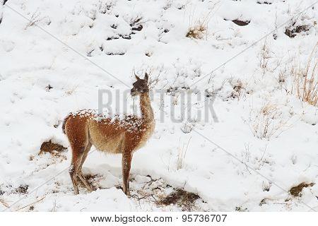 Guanaco in the Snow