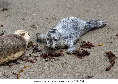 Two Day Old Seal Pup