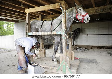 SUGAR CREEK, OHIO - MAY 20, 2015:  An unidentified farrier filing a horse's hoof to be shoed.