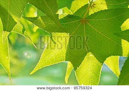 Maple Leaves with Sun shining through