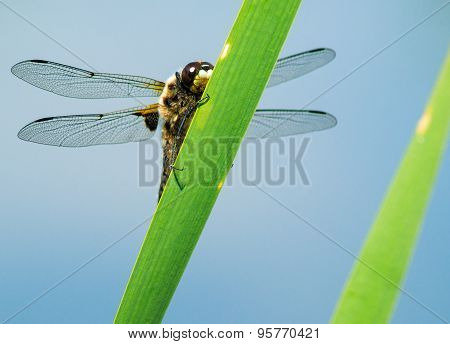 Dragonfly Closeup On A Plant
