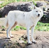 A young arctic wolf is standing on rocks. poster