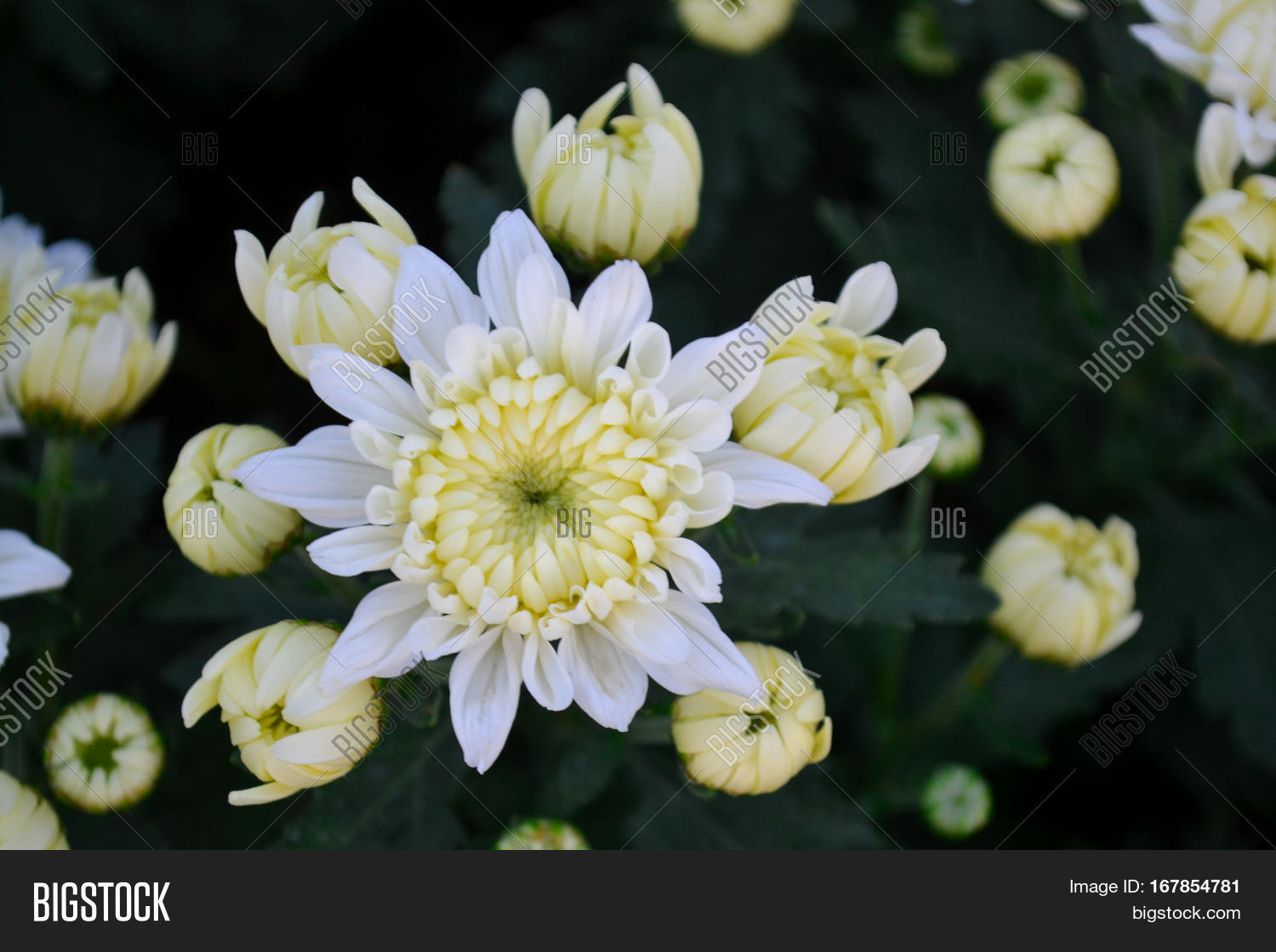 These white flowers image photo free trial bigstock these are white flowers and has yellow pollen called chrysanthemum or florists mun or mums flowers mightylinksfo