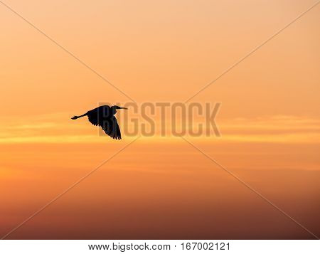 Little Chinese egret bird fly over the sea in sunset light