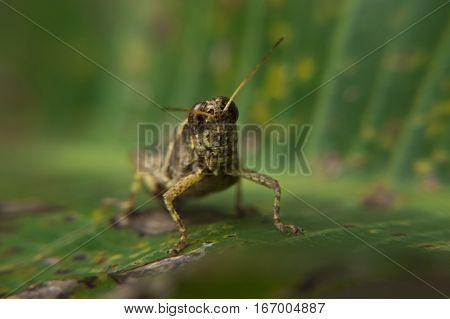 Close-up of grasshopper on leaf staring at viewer