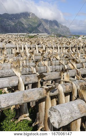 Codfishes drying on traditional wooden racks in Lofoten Islands Norway Europe