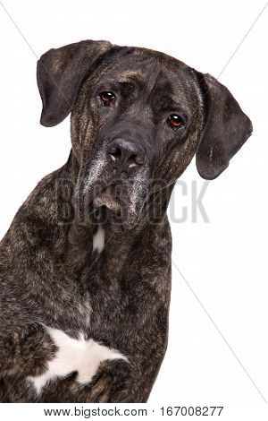 Fila brasileiro dog in front of a white background