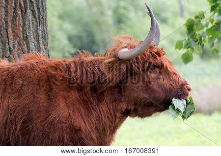a Highland cattle enjoys eating green leaves