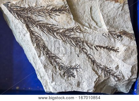 Fossil Leaf In Stone
